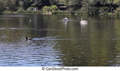 Ducks and swans swimming in a pond in a bird reserve in...