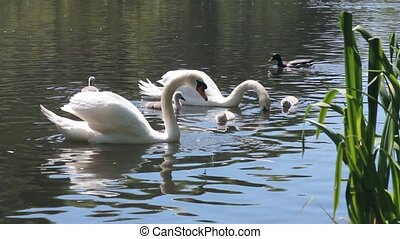 Couple of swans swimming in a pond with their cygnets in a...