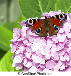 Red on pink on green - A red admiral butterfly rests on a...