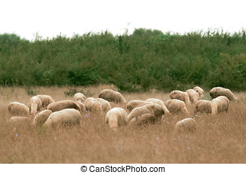 Sheep graze with bowed head - A flock of white sheep grazing...