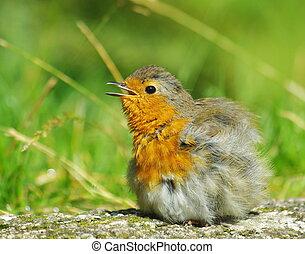 Robin fledgling - Fledgling robin bird perched on wall