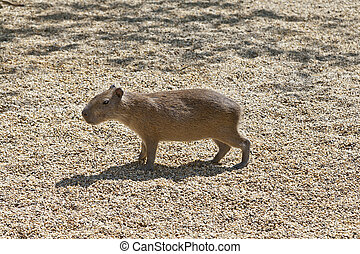 Capibara - A single capibara standing in the sunlight