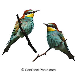 European bee-eater isolated on white background, Merops...
