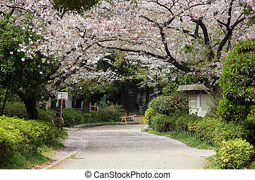 Cherry blossom in Tokyo - Tokyo, Japan - cherry blossoms...