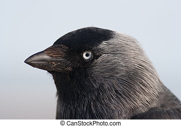 Close-up of a Western_Jackdaw