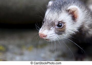 Zoomed ferret face who thinking about catch - Zoomed ferret...