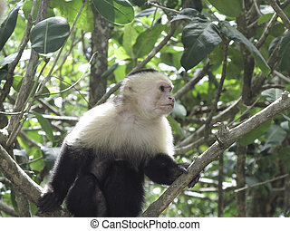 White faced monkey sitting on a branch