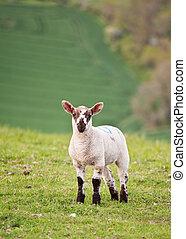 Spring lamd in Spring rural farm landscape