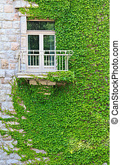 Climbing ivy - Ivy climbing up a building in Budapest,...