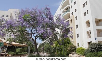 Jacaranda blossoms on the street of the new Tel Aviv