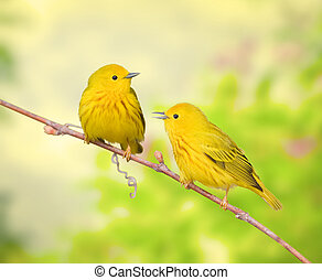 Ontario birds - Yellow warblers. Latin name - Dendroica...