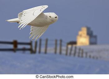Snowy owl in Flight in winter Canada