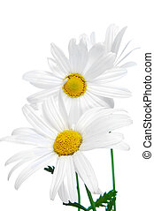 oxeye daisies - close up of a few oxeye daisies on a white...