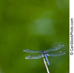 Dragonfly - Spangled Skimmer Dragonfly (Libellula cyanea) on...