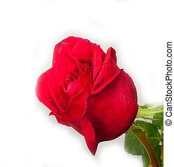 バラ, 白, 赤, 背景