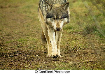 Stalking Wolf Stock Photo - European gray or grey wolf...