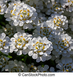 Candytuft Iberis in drops of early dew
