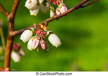 Dewdrops on bog whortleberries flowers (Vaccinium...