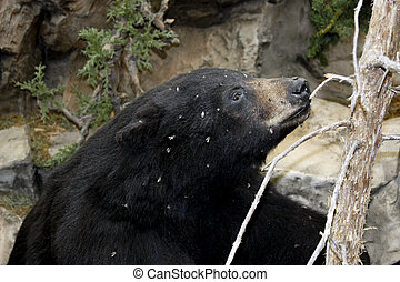 black bear and bees - curious black bear covered in honey...