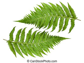 ferns branches isolated on white