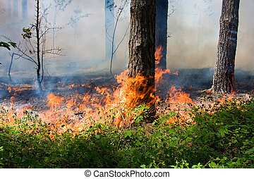 Forest fire - Fire burning in a pine forest