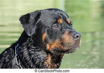 wet rottweiler - portrait of a purebred wet rottweiler in a...