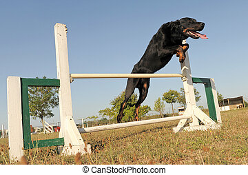 beauceron in agility - young purebred french shepherd...