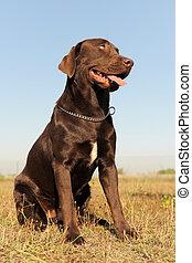 labrador retriever - purebred brown labrador retriever in a...