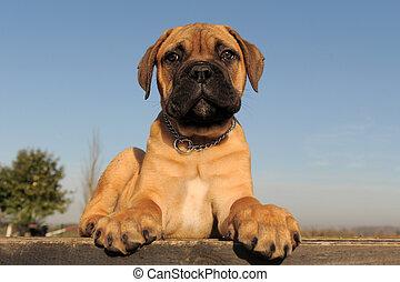 puppy Bull Mastiff - portrait of a purebred puppy Bull...