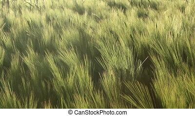 Barley field in the breeze