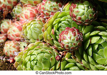 Sempervivum succulent close up (Hens and Chicks) - Succulent...