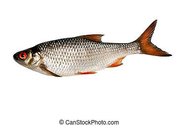 fish silver