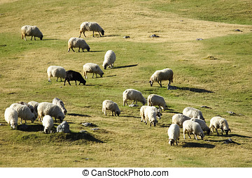 Flock of sheep grazing at dusk - Group of sheep grazing...