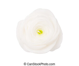 aroma white rose candle isolated