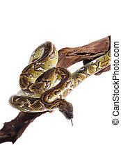Pastel snake python reptile wild animal