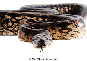 pastel, serpiente