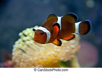 Clownfish on the reef - a vibrant clownfish on the reef