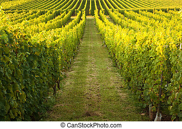 Endless rows in a vineyard - Endless vines in a row growing...