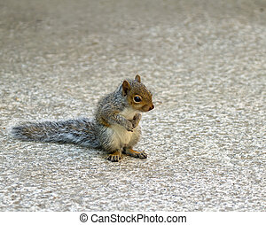 Baby Grey Squirrel - Cute Baby Grey Squirrel sitting on...