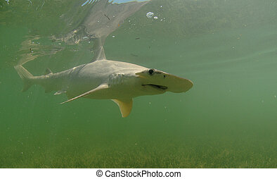 bonnethead shark - Bonnethead shark swimming in ocean in...