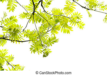 Fresh, Spring leaves of mountain ash tree on white