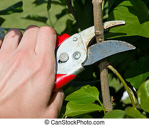 Lop plants - Hand with garden shears lopping plants in the...