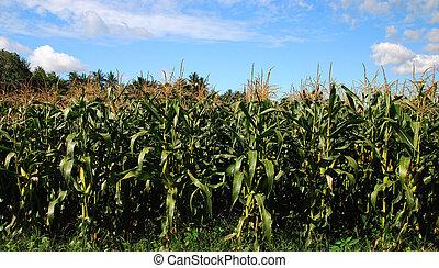 Green field of corn growing