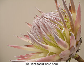 Protea - Photograph of the flower of Protea