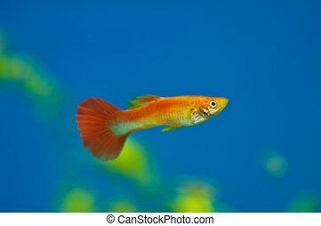 Orange aquarium fish