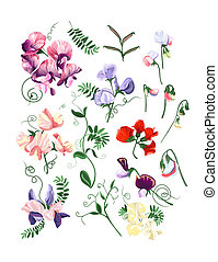 Sweet pea set - Colorful realistic set of sweet pea flowers...