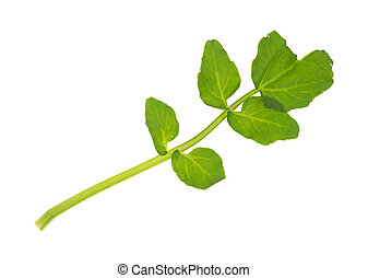 Watercress - A single stalk of fresh watercress on a white...