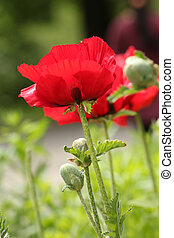 poppy - Poppy in sunlight