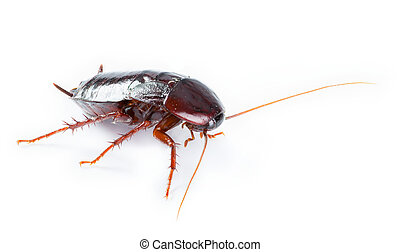 art Cockroach bug isolated on white background - Cockroach...