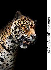 Jaguar head in darkness, isolated - Animal - wild cat -...